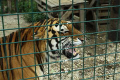 Angry tiger. Happiness between us is fence Royalty Free Stock Images