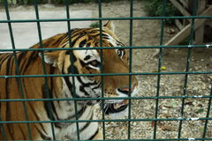 Angry tiger. Happiness between us is fence Royalty Free Stock Photos