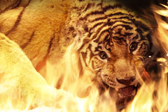 Angry tiger near fire Stock Images
