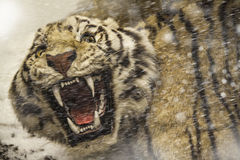 Angry tiger in the blizzard. Angry tiger looking to you through ice storm Royalty Free Stock Images