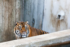 Angry tiger in the zoo royalty free stock photo