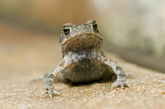 Angry toad. A closeup of an angry looking toad Royalty Free Stock Images