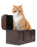 Angry tomcat in treasury chest Stock Photo