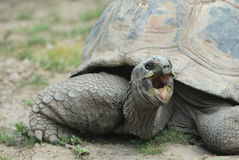 Angry Tortoise Stock Photo
