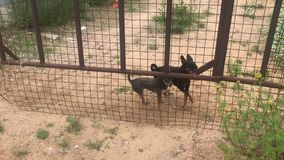 Angry toy terrier dogs barking through the fence. Video stock video