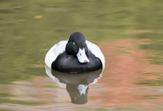 Angry tufted duck royalty free stock photo