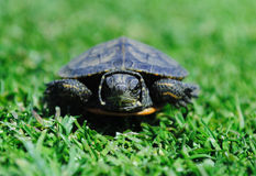 Angry turtle Stock Photography
