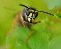 Angry Wasp Apocrita Stock Images