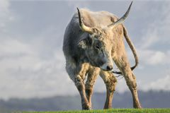 Angry white bull with dangerous horns. Angry bull with dangerous horns in the meadow Royalty Free Stock Photos