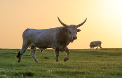Angry white bull with dangerous horns on sunset. In the field Stock Photo