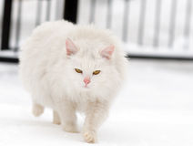 Angry white cat Stock Images
