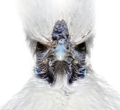 Angry white chicken. Funny angry white Silky chicken Royalty Free Stock Image