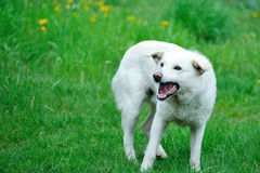 Angry white dog. Against a background of grass stock photos