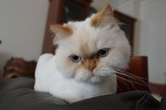 Angry white persian cat posing for camera stock photo