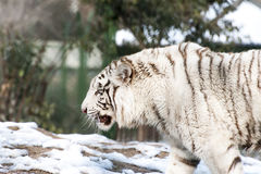 Angry white tiger Stock Image