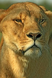 Angry Wife. An angry female lion (panthera leo Stock Image