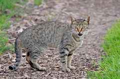 Angry wild cat. Stock Image