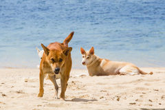 Angry wild dog running at a beach. Angry wild dog at a tropical beach in thailand running at the beach with a fierce face royalty free stock photos