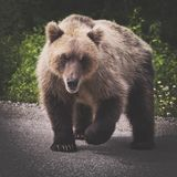 Angry wild Kamchatka brown bear with one raised paw preparing to attack stock images