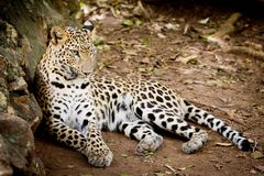 Angry wild leopard Royalty Free Stock Photos