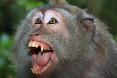 Angry wild monkey (long-tailed. Macaque) portrait Royalty Free Stock Photography