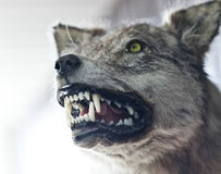 Angry wolf Royalty Free Stock Photos
