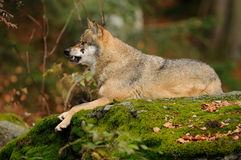 Angry Wolf. The gray or grey wolf often known as the wolf only. This one is lying on a stone Stock Photo