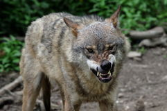 Angry wolf. A angry wolf showing its teeth Stock Photos