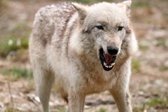 Angry Wolf. Closeup of an aggressive Timber Wolf Royalty Free Stock Photo