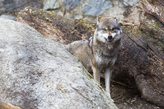 Angry Wolf. On the Alps Royalty Free Stock Image