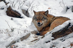 Angry wolf in Black forest Germany Stock Photo