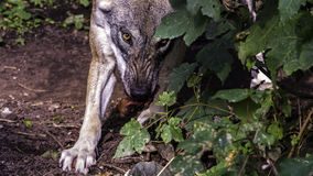 Angry Wolf Eating Stock Images