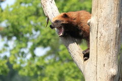 Angry wolverine Royalty Free Stock Image