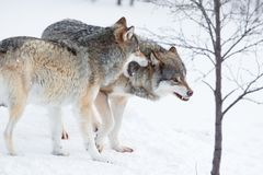 Angry wolves in cold snow. Two furious wolves in the cold snow Royalty Free Stock Image