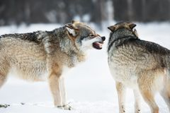 Angry wolves in winter forest Stock Photography