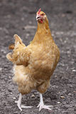 Angry Yellow Buff Orpington Chicken Stock Photo