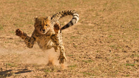 Angry young cheetah Stock Images