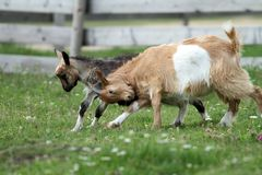 Angry young goats fighting Royalty Free Stock Photo