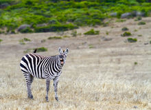 Angry Zebra Stock Images