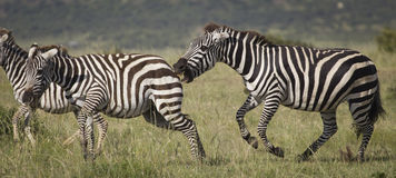 Angry zebras Royalty Free Stock Photos