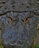 Angry Alligator. Angry zoo alligator stock images