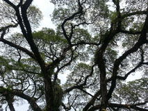 Angsena drzewo Zdjęcie Royalty Free