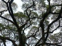 Angsena träd Royaltyfri Foto
