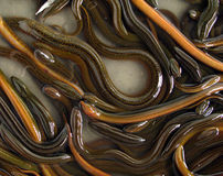 Anguila Foto de archivo libre de regalías