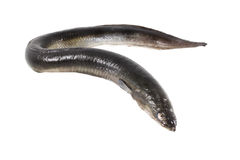 Anguila aislada imagen de archivo
