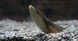 Anguila común o anguila europea, anguila anguila, adulto enterrado en la tierra, cámara lenta almacen de metraje de vídeo
