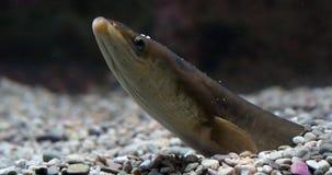 Anguila común o anguila europea, anguila anguila, adulto enterrado en la tierra, cámara lenta almacen de video