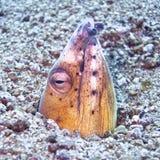 Anguila de arena que busca la comida Imagen de archivo libre de regalías