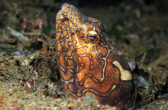 Anguila de la serpiente del payaso Foto de archivo libre de regalías