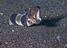 Anguila de la serpiente del payaso del gruñido Fotografía de archivo libre de regalías